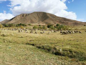 Овцы в предгорьях Иссык-Куля